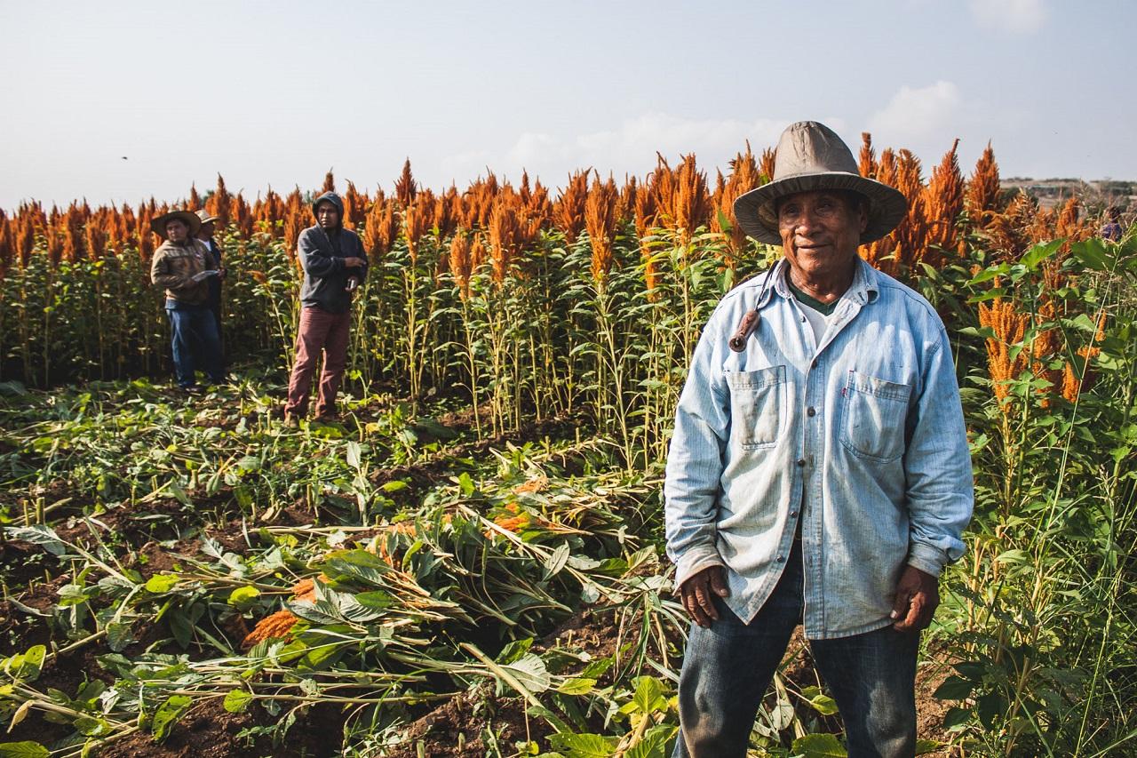 Récolte amarante Mexique
