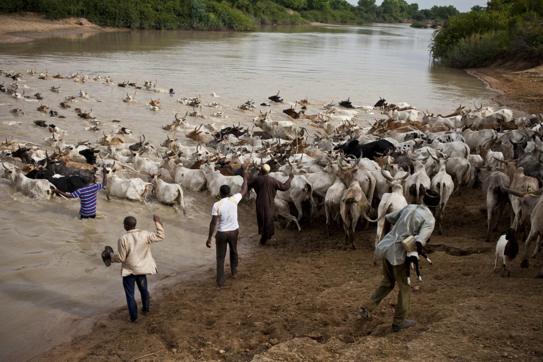 Les bergers passent la rivière à la nage