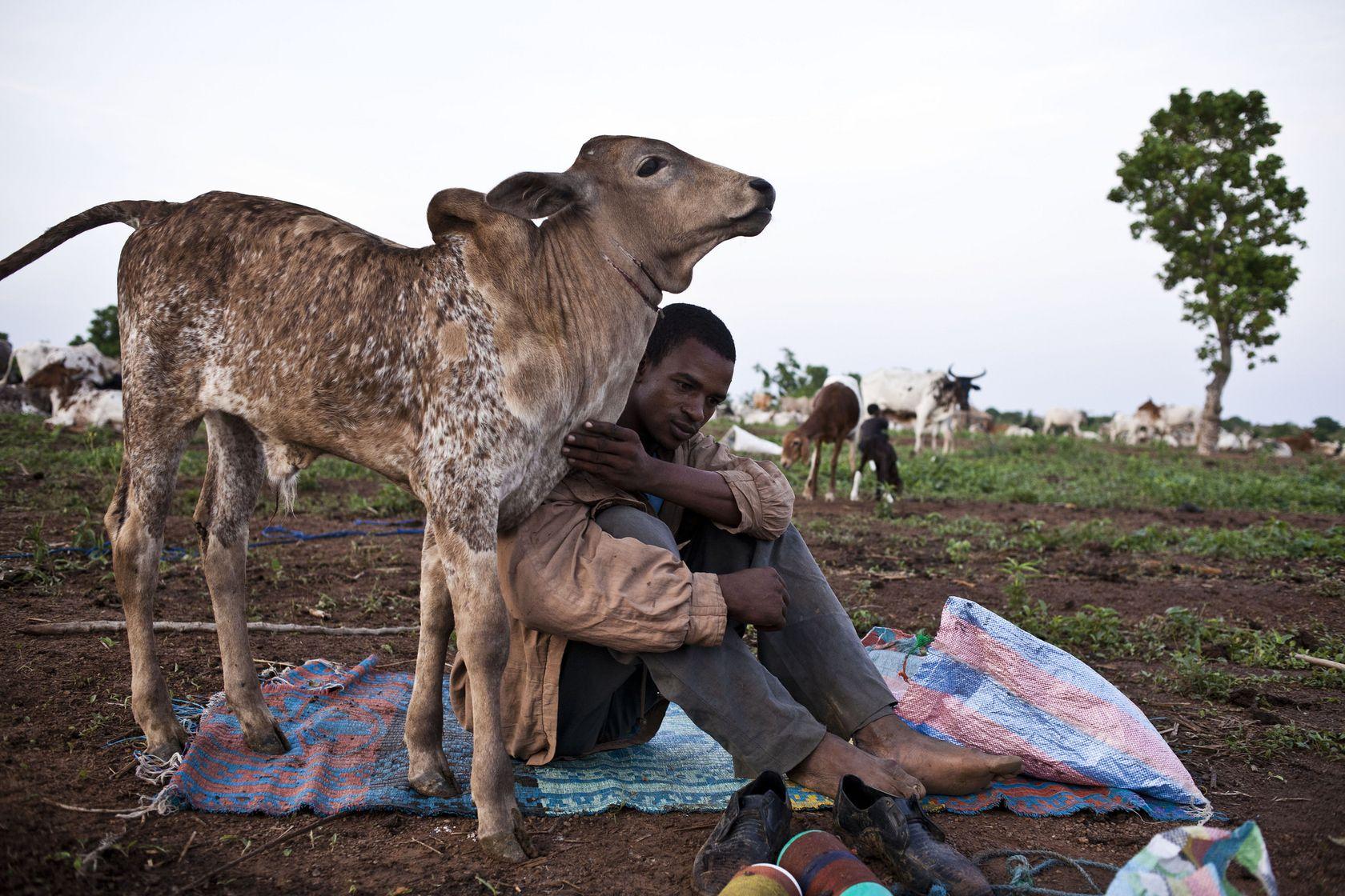Bouvier et vache