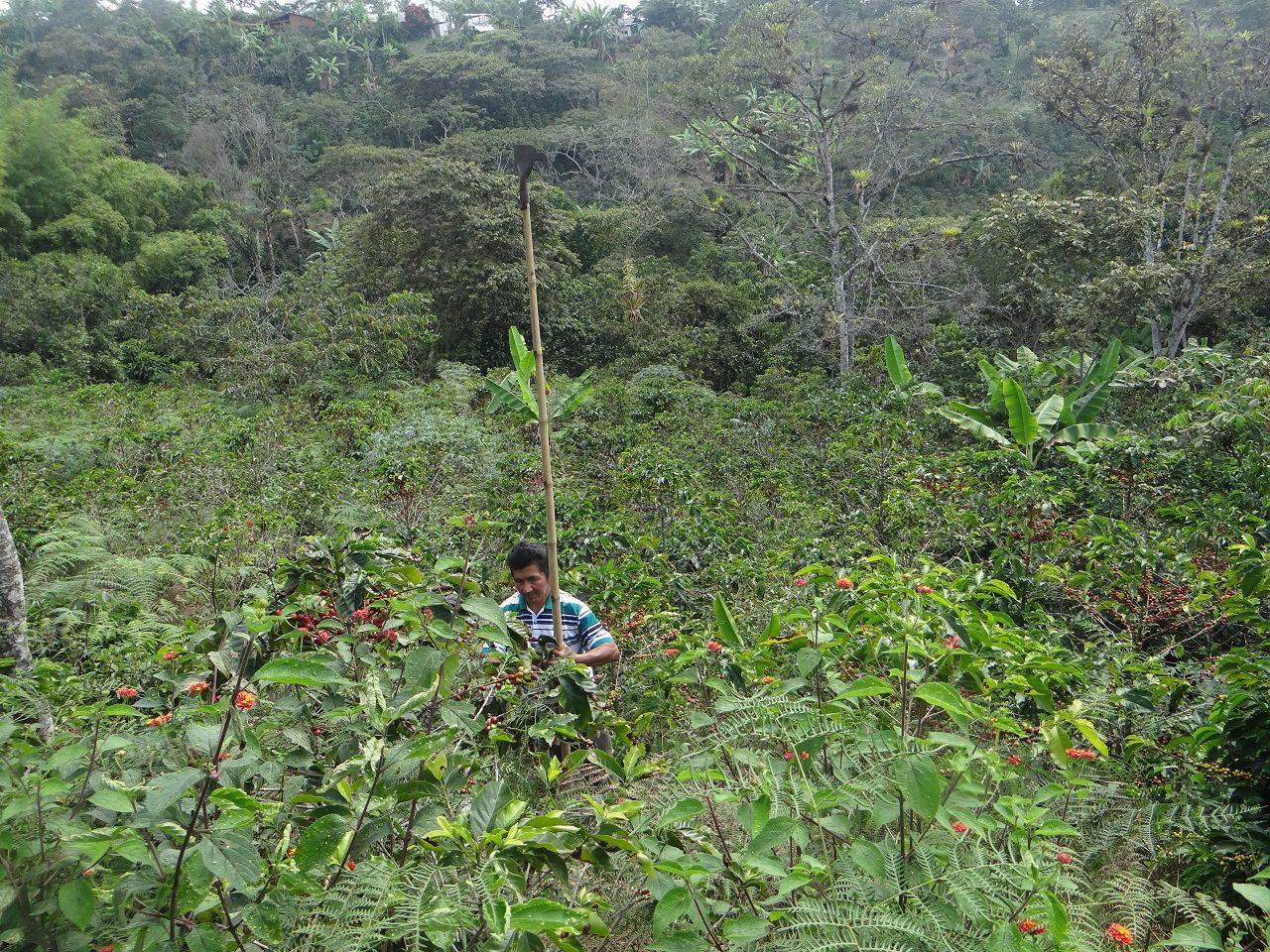 Récolte café Colombie